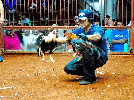 Proposed ban on cockfighting ruffles some feathers