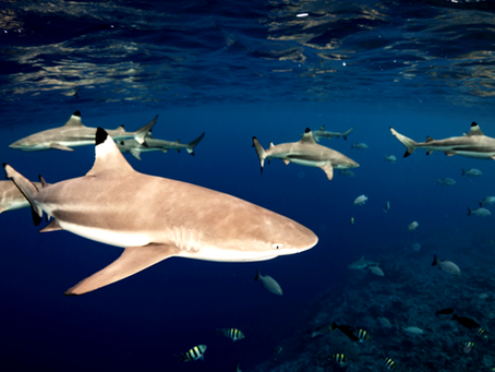 Protecting sharks in Yap