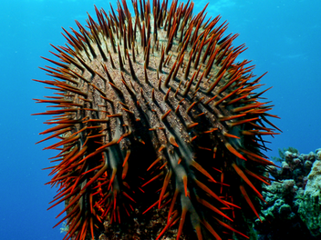 Hungry sea stars threaten Guam coral reefs