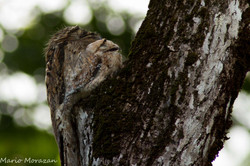 Potoo and chick (1 of 1).jpg