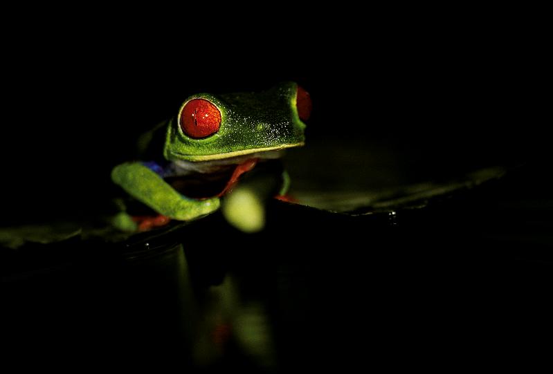 Red Eye Tree Frog_1_edited