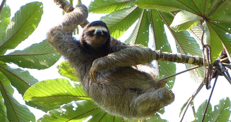 Three Toed Sloth_edited