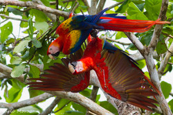 Scarlet Macaw in Love