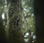 Strakapoud prostřední Middle spotted woodpecker  (Dendrocopos medius)