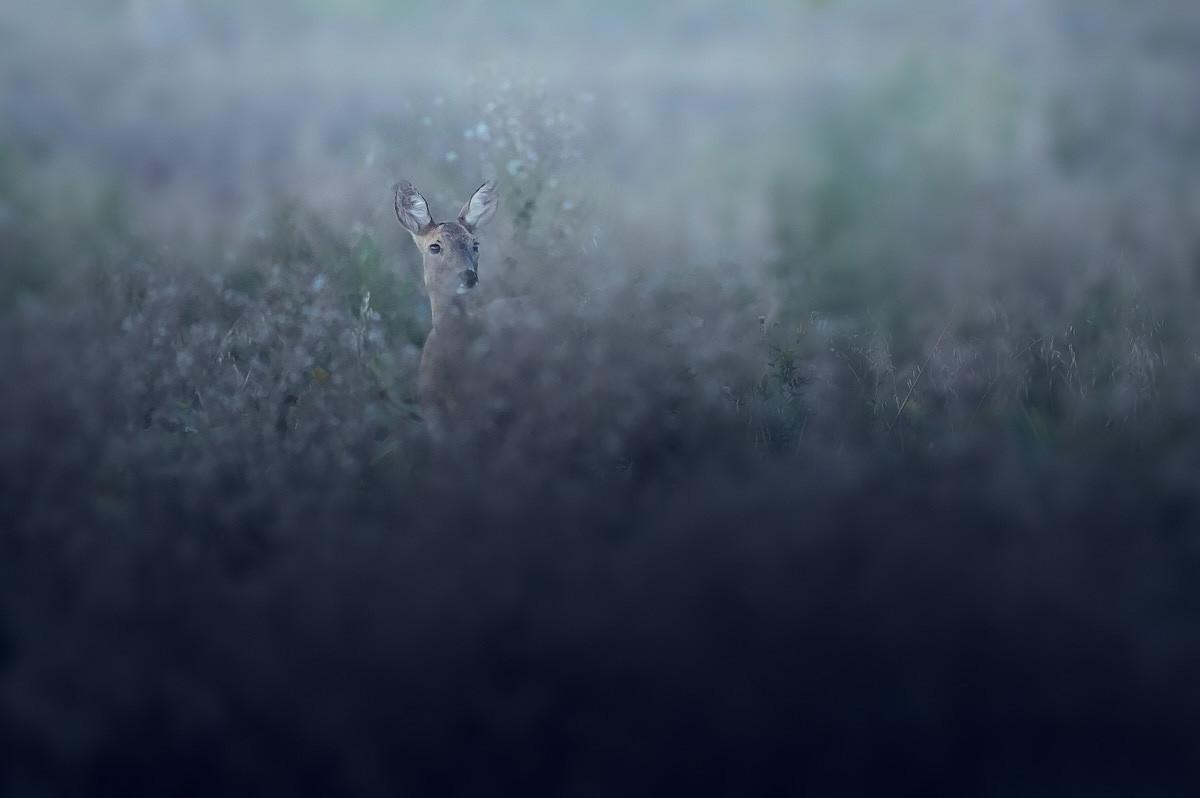 Roe Deer Lady