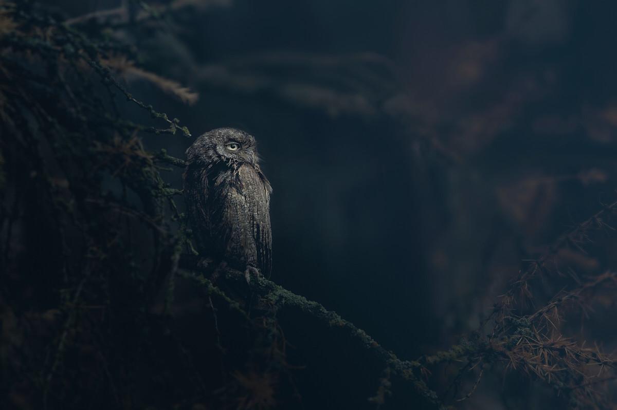 Eurasian scops owl (Otus scops)