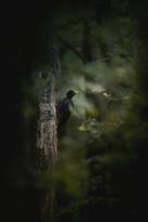 Kopie BlackWoodpecker_200713.jpg