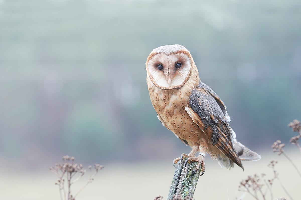 The barn owl (Tyto alba)