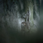 Srnec obecný | Roe deer (Capreolus capreolus)