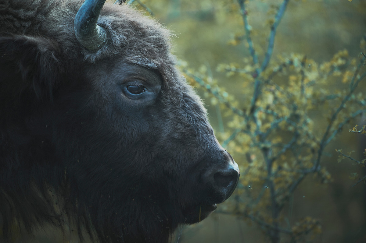 Late Summer with European Bison