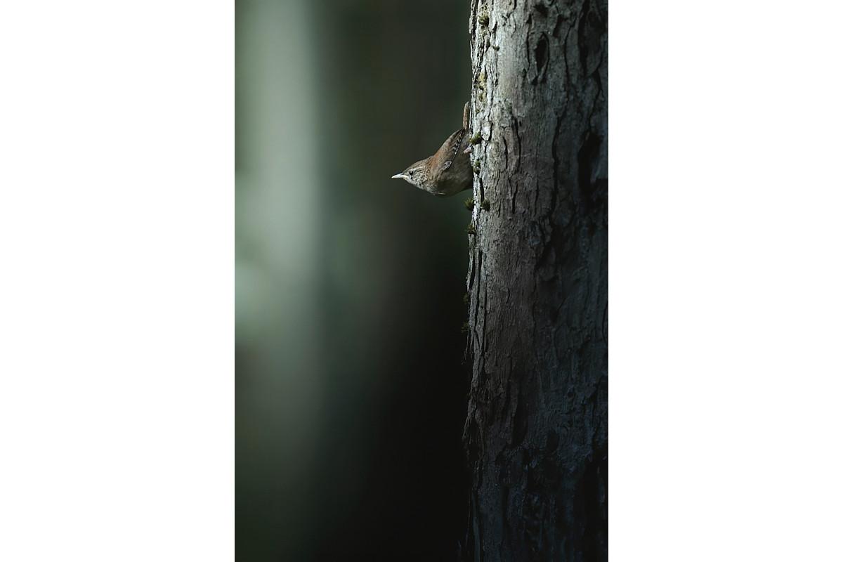 Eurasian Wren