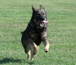 انتعاش بيزنس الكلاب في العالم بعد مشاركة «كلب» في عملية قتل البغدادي