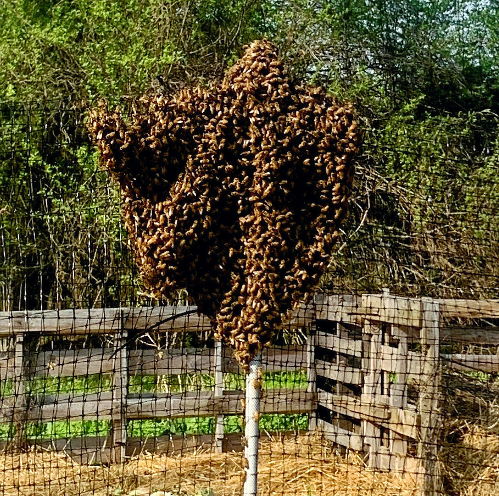 Here, the bees have foud aseuitable spot, on our dee fence, to congregate before they attempt to find a home