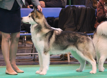 Crufts - Eden places 3rd in Junior Bitch out of a large class and is now Crufts qualified for 2018!!