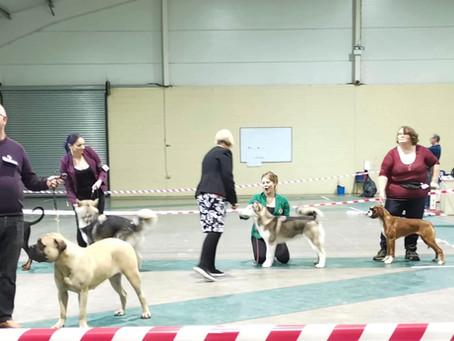 Winter's first UK Open show - 4th place in a large class of mixed working breeds at only 6 month