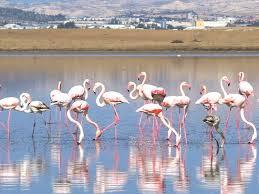 flamingoes larnaca.jpg