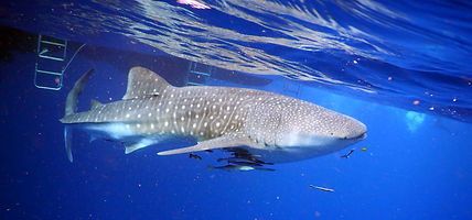 whale-shark-koh-tao-thailand.jpg
