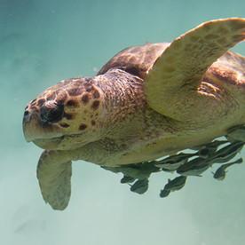loggerhead-turtle.jpg