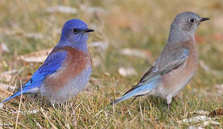 Male and Female Western Bluebirds