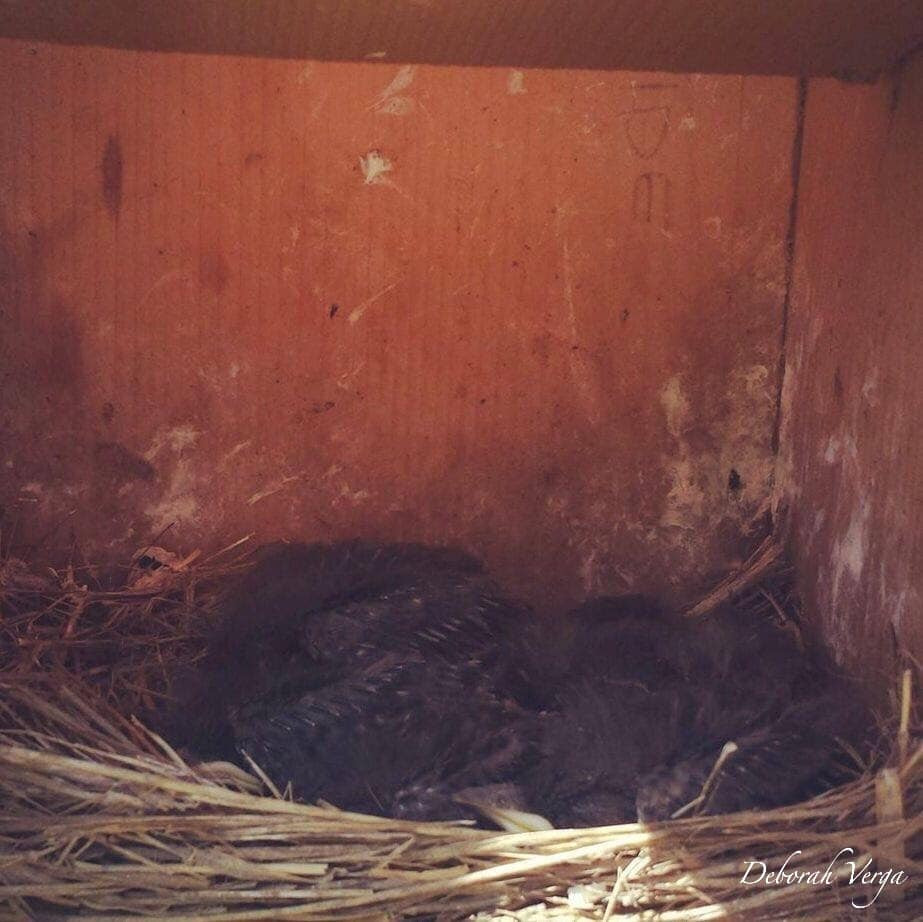 A Nicely Packed Western Bluebird Nest