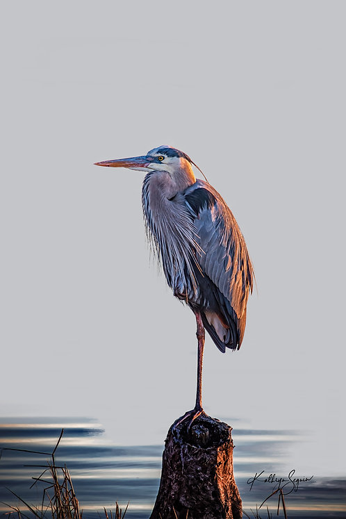 """Great Blue on Piling"" Photography on Acrylic glass by Kathryn Seguin"