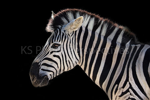 Zebra Coming! By Kathryn Seguin Photography