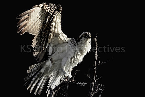 Regal Osprey by Kathryn Seguin Photography