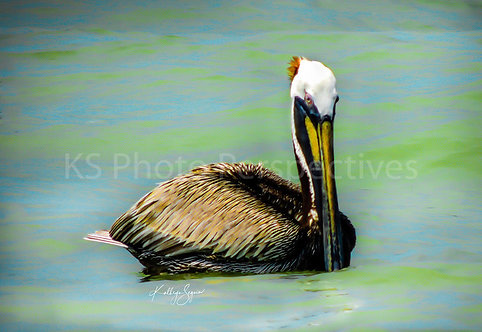 Mr. Pelican by Photographer Kathryn Seguin  16 x 20 unframed print