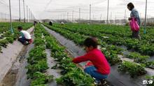 1月29日 台南開心有機農場 聯誼採果樂