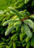 Evergreen-tree.jpg