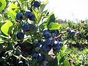 dickinsons pyo blueberries