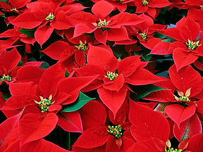 Bautiful_Red_Poinsettia_flower_christmas