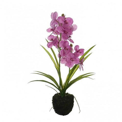 Orchidee Julie