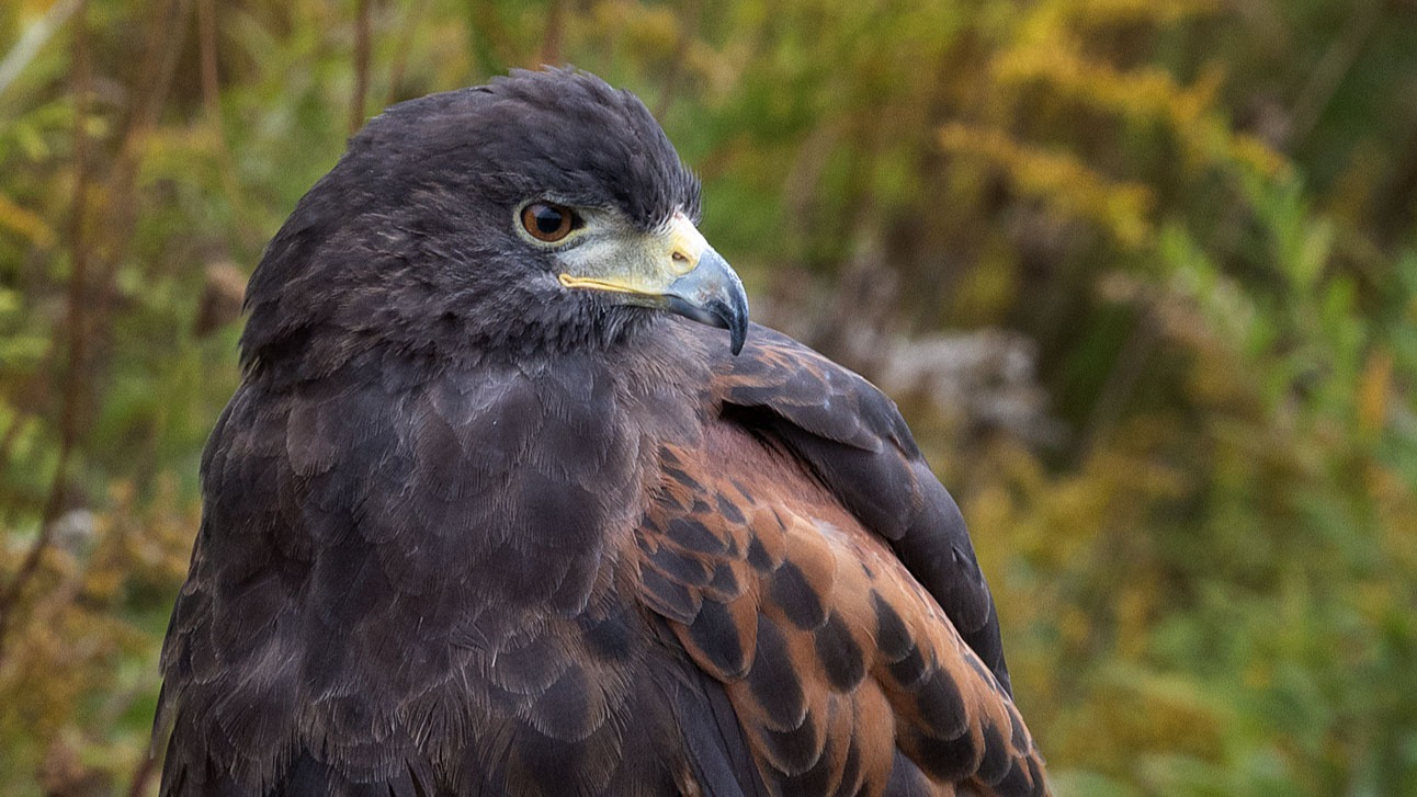 HARRIS-HAWK_edited