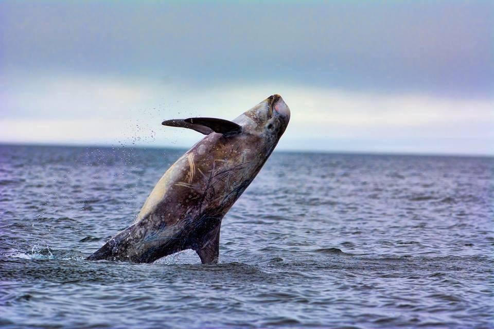 Rissos Dolphin