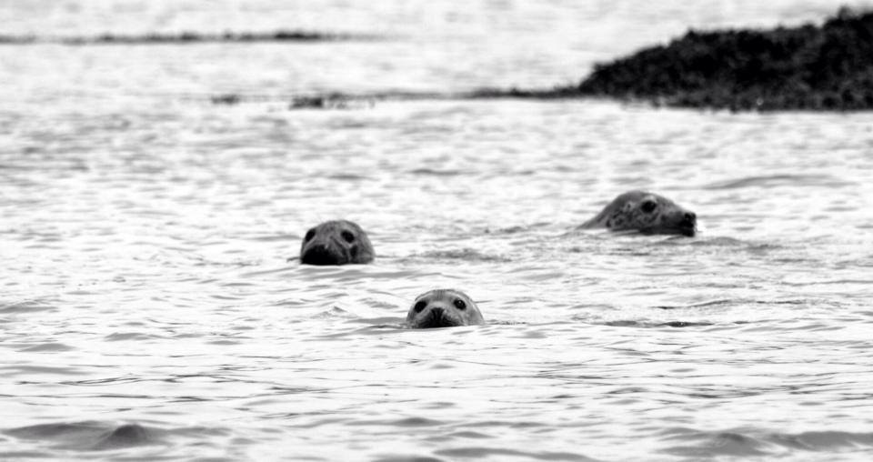 3 Seals peeping