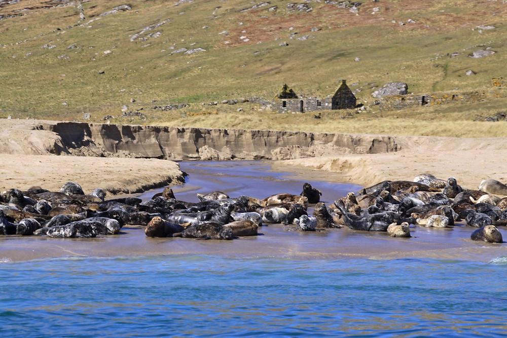 Grey Seals on the beach