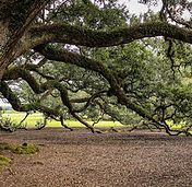 virginia-live-oak-new-orleans.jpg
