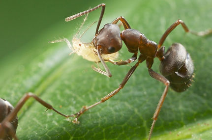 ant carrying aphid.jpeg