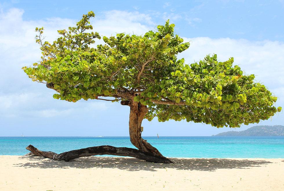 Grand Anse Sea Grape.jpg