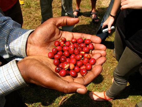 coffee cherries.jpg
