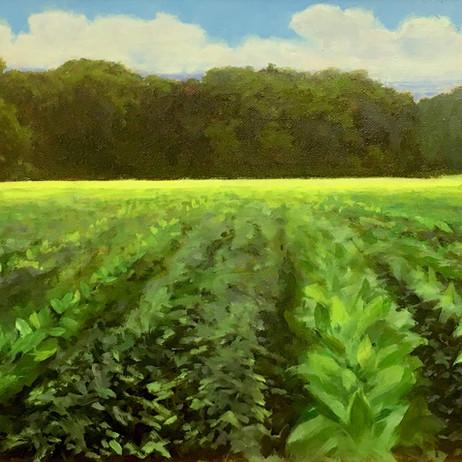 Dan McGrath - Cloud Shadows Tobacco Field