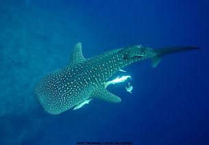 aveyla-whaleshark-maldives.jpg