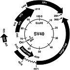 Emergent Human Pathogen SV40.jpg