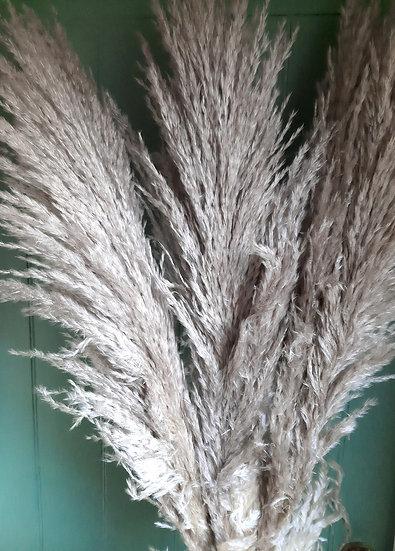Pampas Grass - Super Fluffy - Natural Light