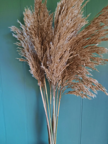 Pampas Reed Grass - Light Brown - SOLD OUT