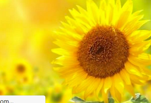 Sunflower Oil (Organic)