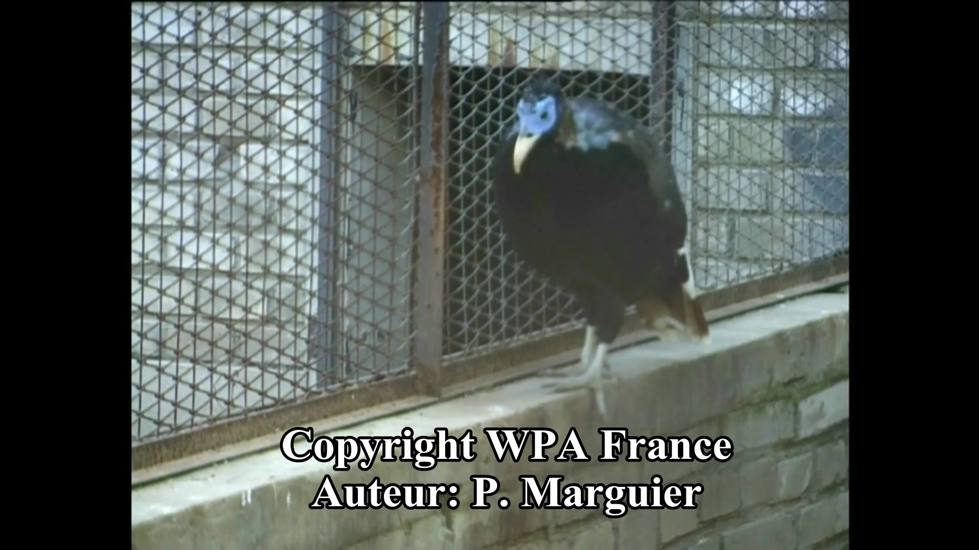 p-lophophore-de-sclater-p.-marguier-wpa.