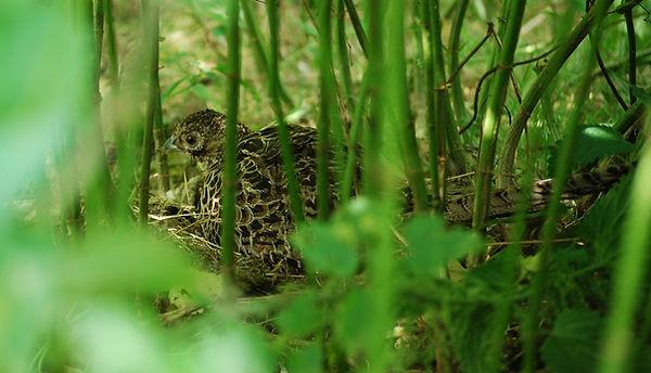 Poule strauchi au nid. Dispo en 3,3Mo.jp