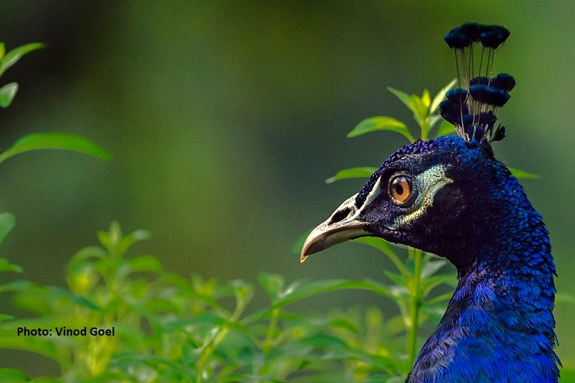 Vinod Goel Wildlife&NaturePhotographie P